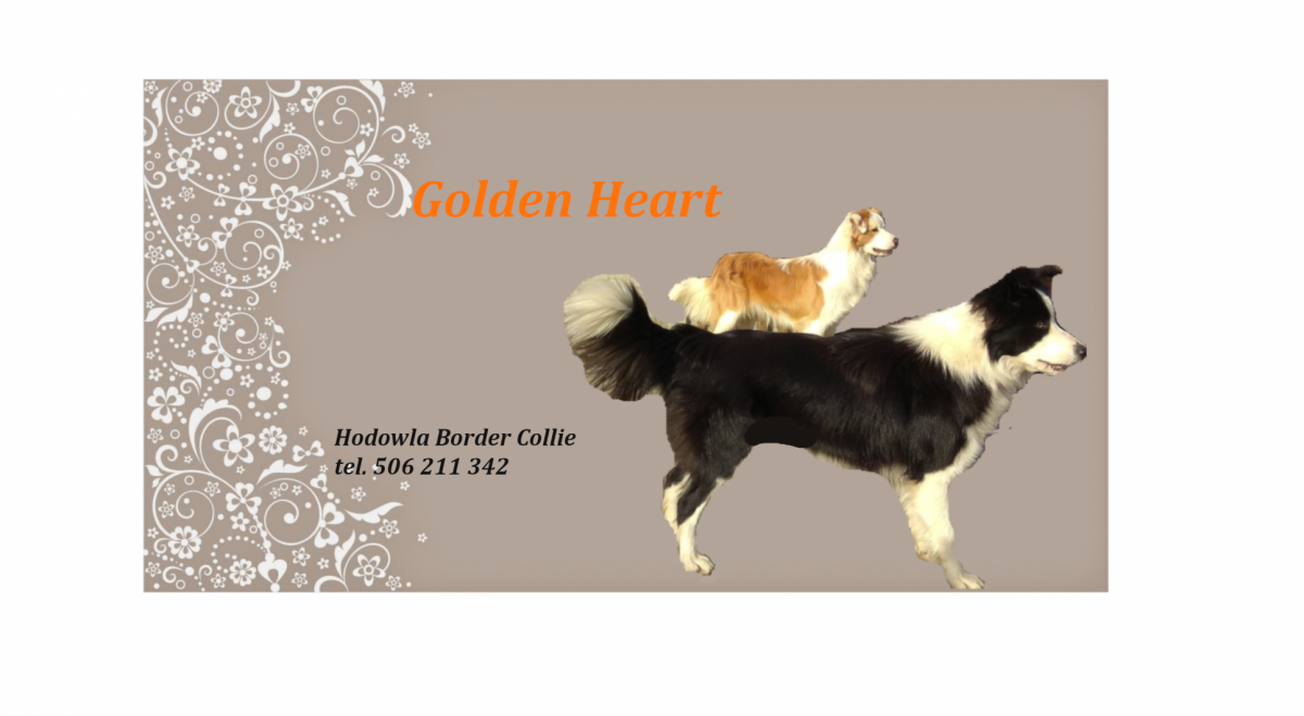 Hodowla Border Collie